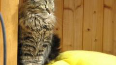 Как купать сибирскую кошку