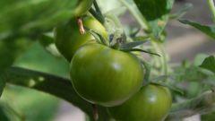 Как приготовить зеленые помидоры