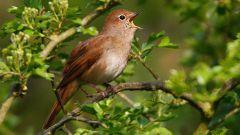 Почему соловьи поют весной