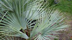 Как вырастить комнатную пальму из косточки