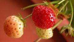 Почему клубника вырастает мелкой