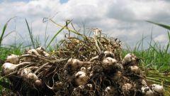 Как подготовить участок для выращивания чеснока