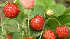 Как ухаживать за садовой земляникой