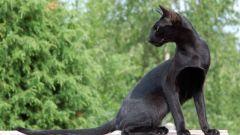 Как выбрать ориентальную кошку
