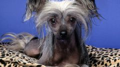 Как разводить китайских собак