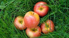 Как приготовить яблочное вино