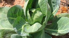 Как сохранить полезные свойства капусты
