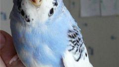 Как приучить попугая к рукам