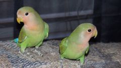 Как различать попугаев