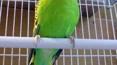 Как определить пол у волнистого попугая