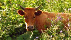 Как лечить корову