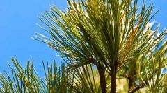 How to grow a pine tree