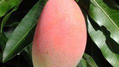 Как вырасти манго в домашних условиях