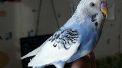 Как понять попугая