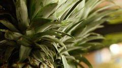 Как дозреть ананасу