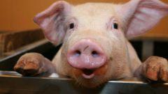 Как кормить свинью в 2017 году
