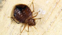 How to get rid of bed bugs bed