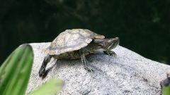Как кормить красноухих черепах