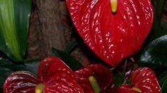 How to transplant Anthurium