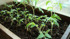 Как подготовить семена томатов