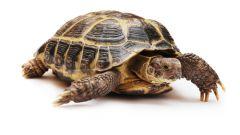 Как определить самку черепахи