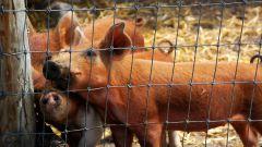 Как выращивать свиней