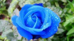 Как покрасить розу