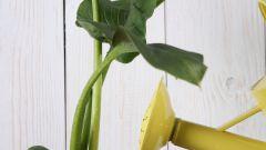 Как посадить каллу