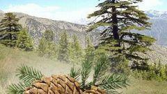 How to plant cedar