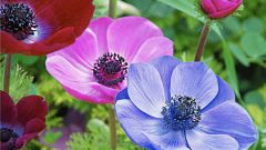 How to plant anemone