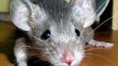 Как вывести в доме мышей