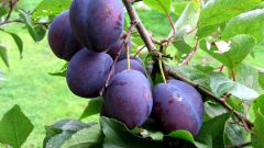 How to plant plum