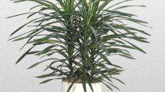 How to plant dracaena