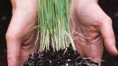 Как выращивать лук на перо