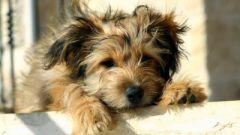 Как делать прививку собаке