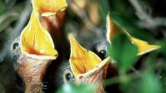 Как кормить птенцов