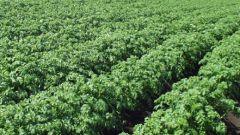 How to fertilize potatoes