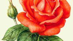 Как черенковать розу