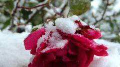Как укрывать розы