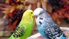 Как подружить попугаев