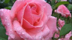 Как укоренить из черенка розы