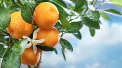 How to grow Mandarin from bone