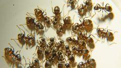 Как уничтожить муравьев в квартире