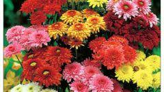 Как сажать хризантемы