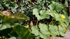 Как выращивать патиссоны