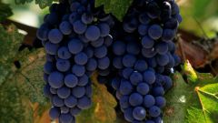 Как прорастить черенки винограда