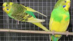 Как отличить самца попугая от самки