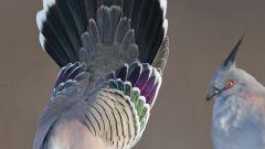 Как приручить голубей