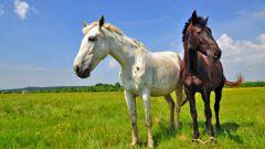 Как разводить лошадей