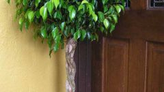How to shape ficus